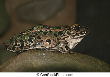 Leopard Frog Cameo - Closeup of an American leopard frog...