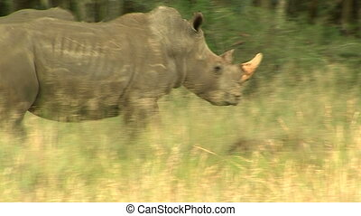white rhino in africa