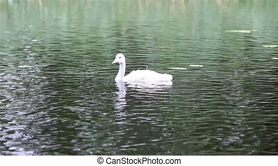 Baby bird of a swan in the lake