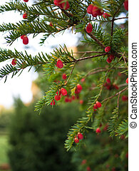European yew tree - Beautiful yew tree twig with bright red...