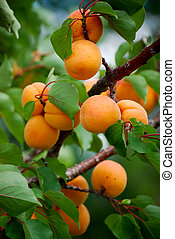 ripe apricots on a branch at harvest time
