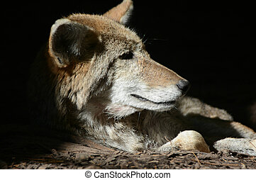 A Coyote Cameo - Coyote quietly at rest in a partially...