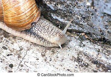 Macro roman snail, helix pomatia closeup