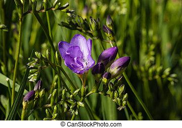 blue freesia flowers - closeup of blue freesia flowers