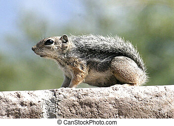 Harriss Antelope Squirrel - Harriss Antelope Ground Squirrel...