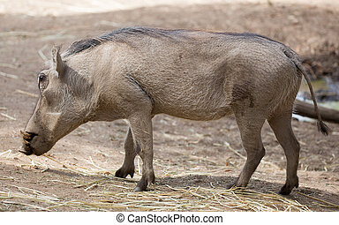 Common Warthog - Warthogs are members of the same family as...