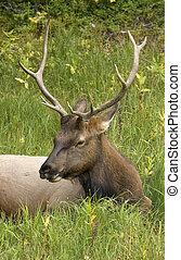 Elk - Cervus elaphus - young bull