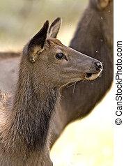 Elk - Cervus elaphus - fawnjuvenile