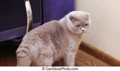 Domestic cat on floor - Active home gray fluffy cat playing...
