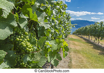 Pinot Noir Grapes in Vineyard Okanagan British Columbia...