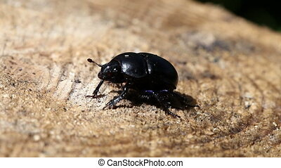 black beetle on a stub .Close up in a sunny day