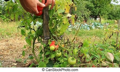 harvesting red tomatoes in the bush - harvesting of...
