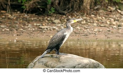 cormorant predatory sea bird close - Cormorant predatory sea...