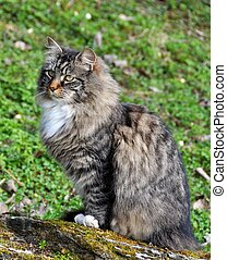 Forest cat - Norwegian forest cat sitting on a stone outdoor...
