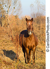 One brown horse with chain in autumn - Portret of a brown...