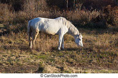 One white horse with chain in autumn - Portret of a white...