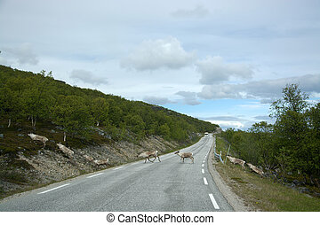 Rentiere in Norwegen - Reindeer in Norway near...
