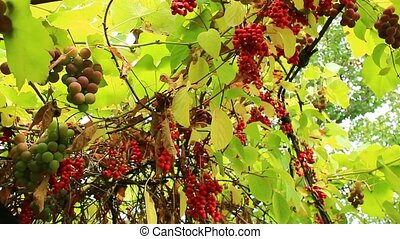 branch of red ripe schisandra - branches of red and ripe...
