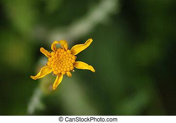 Calendula arvensis yellow wildflower - Calendula arvensis...