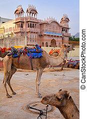Camels resting near Man Sagar Lake in Jaipur, India. -...