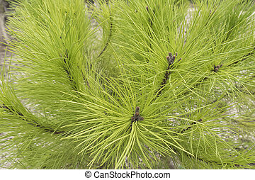 Pine leaves in the forest