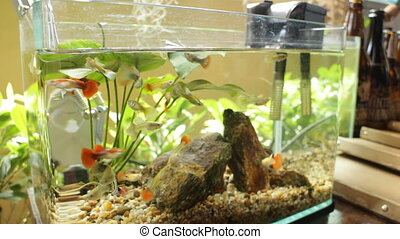 Small healthy fish in aguarium - Small healthy fish in...