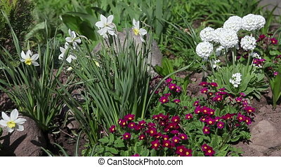 Bed with the first spring flowers - narcissus, primrose, decorative onions.Camera movement