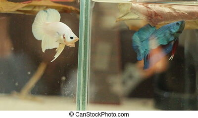 Little Siamese fighting fish exercise in the tank, stock...