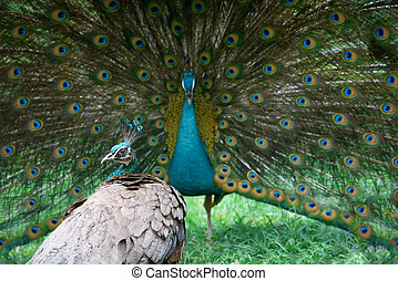 Peacock shows its beautiful tail, but peahen is not...