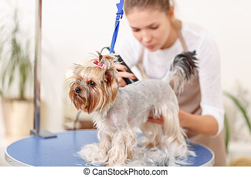 Yorkshire terrier in the process of grooming - Accurate...