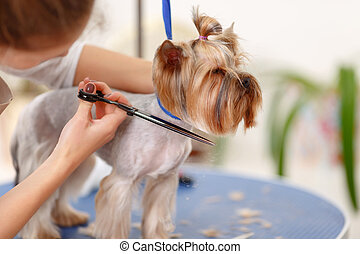 Yorkshire terrier in the process of grooming.