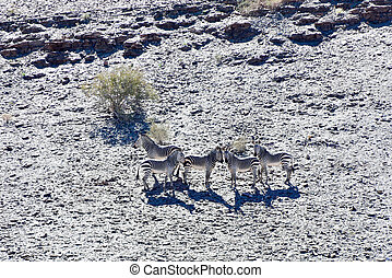 Fish River Canyon -Namibia, Africa - Desert zebras in the...