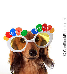 Happy Birthday dachshund - Dachshund puppy wearing Happy...