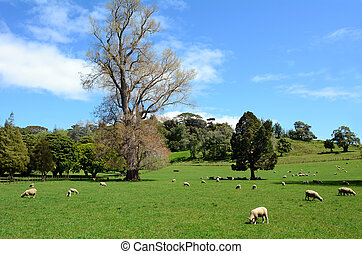 Flock of sheep grazing in a paddock - Flock of sheep graze...