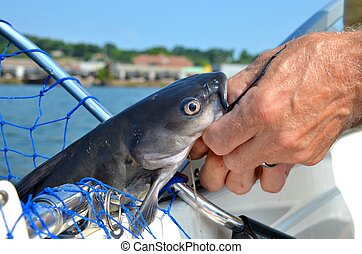 Fishing for catfish - Freshwater catfish caught