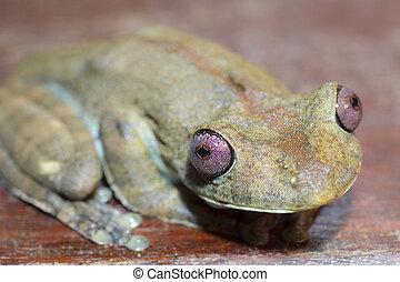 Amazon green tree frog