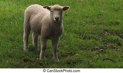 One merino lamb in the paddock New Zealand