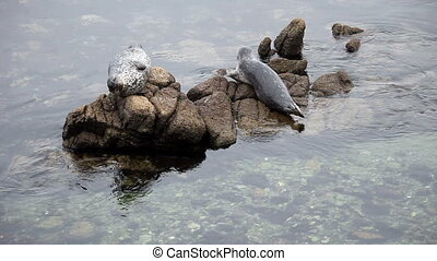 Two Seals On Rocks Monterey Bay CA - Seal Moving On Rock...