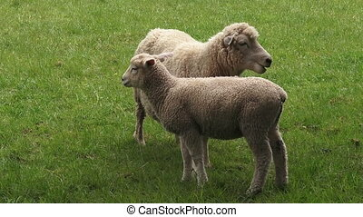 Merino sheep mother and lamb - Two Merino sheep mother and...
