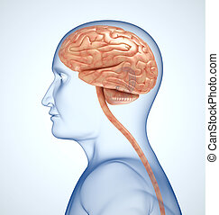 The brain in the transparent head on the light-blue background