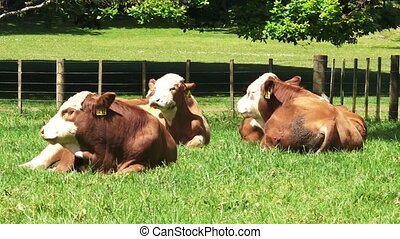 Cows sit on the ground io - Cows sit on the ground in the...