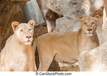 Two lions looking - two lions looking intently around the...