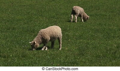 Merino sheep lamb in the paddock - Two Merino sheep lamb in...