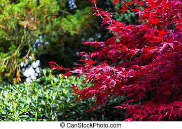 Japanese maple, Acer palmatum with red leaves in autumn -...