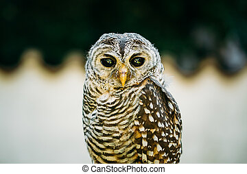 The rufous-legged owl - Strix rufipes - is a medium sized...