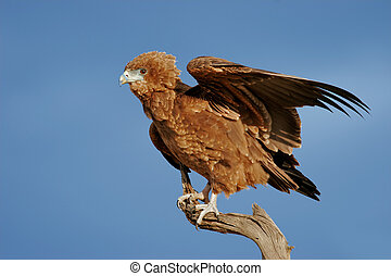 Young bateleur eagle - Young, immature bateleur eagle...