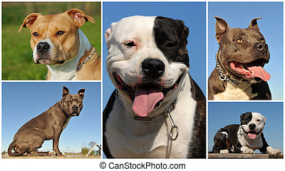 american staffordshire terrier - composite picture with...
