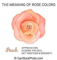 Peach rose infographics, vector illustration isolated on...