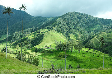 Cocora valley. - Cocora Valley, Quindio province. Between...