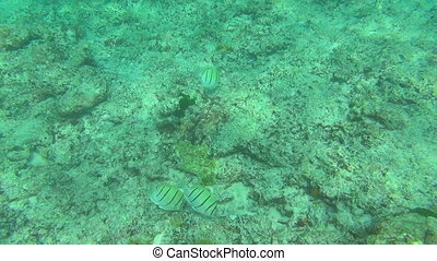 Tropical fishes, Similan Islands - Tropical underwater...